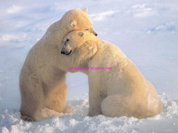 Arinje polar te dashuruar