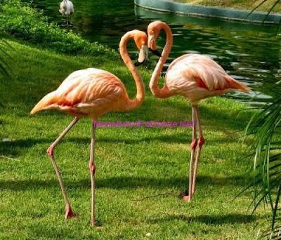 Flamingo te dashuruar