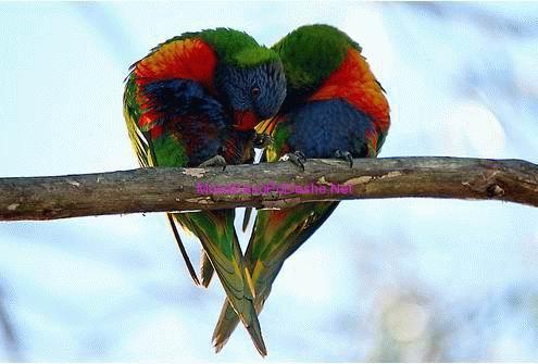 Papagait e dashuruar
