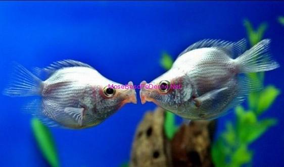 Peshq te dashuruar